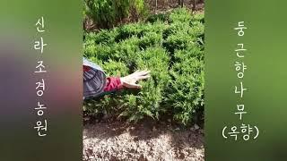 화단에 심는 둥근향나무(옥향) - 신라조경농원