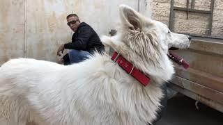 كلب ال وايت شيبرد مع جمال العمواسي