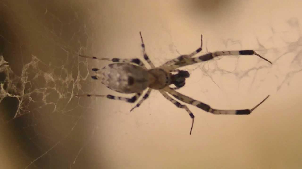 Uloboridae Spider species - hackled orbweaver or cribellate orb ...