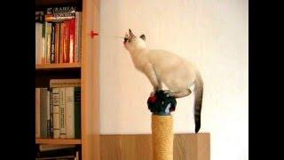 Трёхмесячный котёнок пытается достать игрушку! Тайские кошки - это чудо! Funny Cats