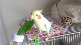 Today's My happy Cockatiel | Eating Japanese spinach | 小松菜を食べるオカメインコのカメちゃん thumbnail