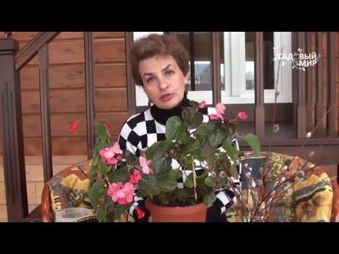 Как омолаживать комнатные цветы  Размножение бегонии черенками