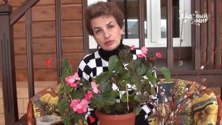Как омолаживать комнатные цветы  Размножение бегонии черенками(Как омолаживать комнатные цветы. Размножение бегонии черенками - один из способов омолодить старое растен..., 2016-03-23T06:57:11.000Z)