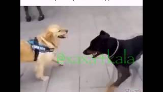 Пёс вандама