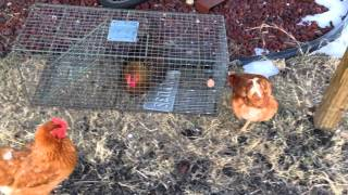How to Catch a Chicken - WARNING: No Chicken was Harmed in the making of this video