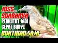 Perkutut Lokal Saling Sahut Rame Bikin Perkutut Lain Jadi Gacor  Mp3 - Mp4 Download
