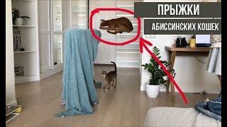 Flight abyssinian cat in slow motion | Летаюшие абиссинские кошки в замедленной съемке