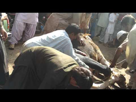 Ahsan Aslam Bull's Sacrifice Bari Bhai ne 1,040 Kg ke Beil ko sirf Moun se Pakar ke Gira Diyaa