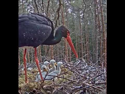 Черный аист ремонтирует гнездо, птенцы хотят помочь.