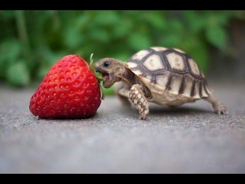 Tortuga de tierra bebe