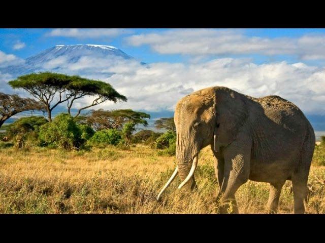 Как Львы уживаются со Слонами? В мире животных