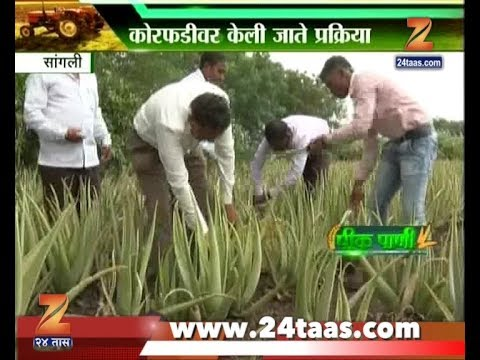 Peekpani | Sangli | Farmer Moved To Aloe Vera Farming Leaving Traditional Farming Behind