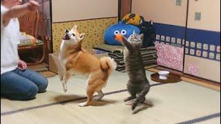 猫のおもちゃではしゃぐ犬と猫と人 Dog and cat play with a cat toy