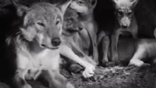 Белый клык (1946) Джек Лондон Советские фильмы онлайн