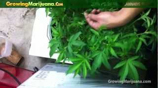 How To Get Bigger Yields From Cannabis Plants - Growing Weed