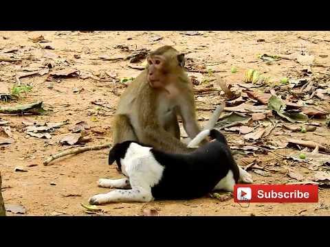 Monkeys Vs Dog, All babies monkey are friendly with dog, Amazing monkey and dog