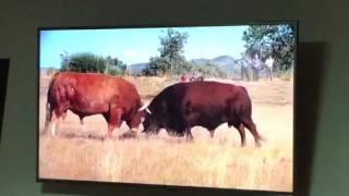 Combats de taureaux candido