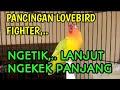 Pancingan Lovebird Ngekek Panjang Fighter Ngetik Lanjut Ngekek Panjang  Mp3 - Mp4 Download