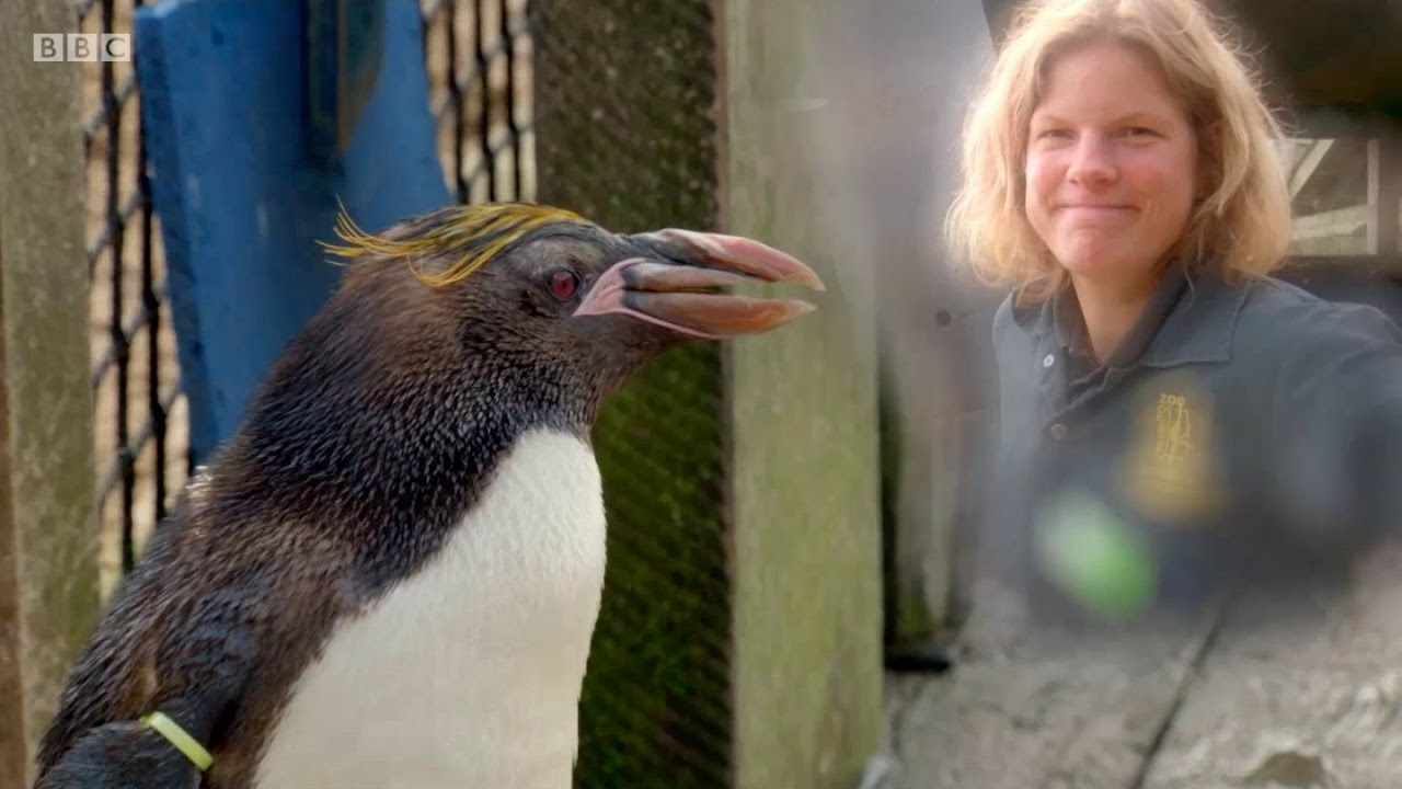 Download BBC The Zoo series 1 episode 5 - The Humany Penguin