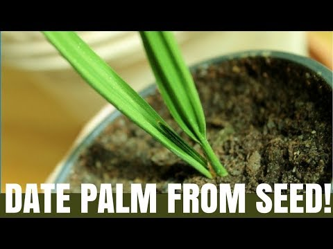 How To Grow A Date Palm Tree From Seed - DIY Video