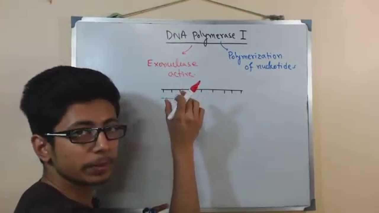dna polymerase 1 youtube