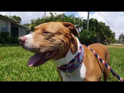 Florida Pit Bull Rescue - ADOPTIONS - Rescue Me!