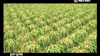 Living Vietnam in a day: Dragon Fruit Farm | Sep 2014