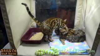 Котенок бенгальской кошки на выставке, часть 2