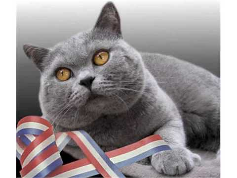 British Shorthair cats traditional british domestic cat