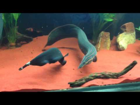 Feeding Fire Eels and Knifefish