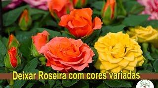 Roseira com varias cores, Enxertia em Rosas com o amigo Silvio