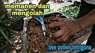 Download Cara memanen bee pollen Tetrigona Apicalis