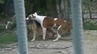Dog Mating & Funny Dog Funny Animal mating fail Compilation