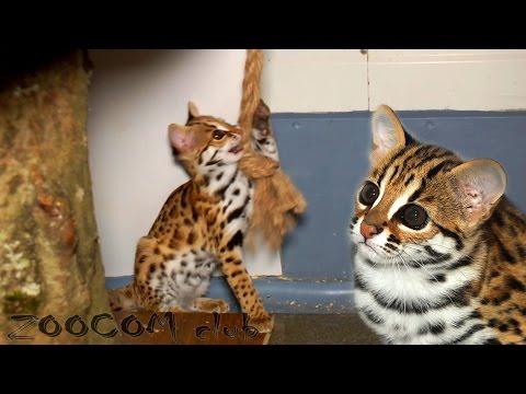 Бенгальская кошка: О породе - Породы кошек - CATS-портал