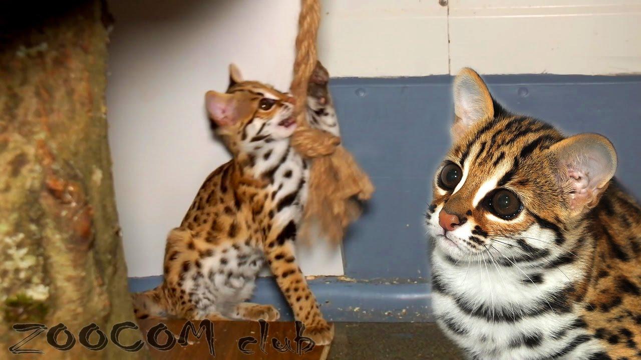 Кошка - леопардовая или все же бенгальская?