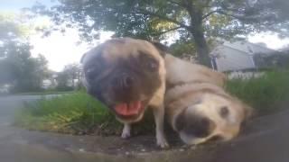 Pug Vs Chubby Golden Retriever.