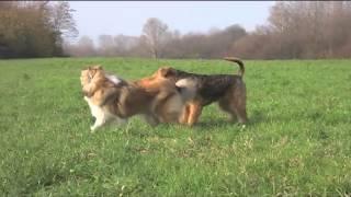 Airedale Terrier & Collie | Эрдельтерьер и колли