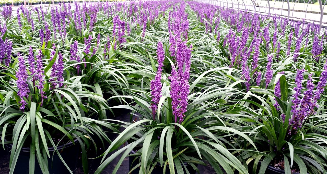 Best Perennials - Liriope 'Purple Explosion' (Lily Turf ...