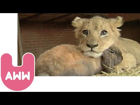 Lion Cub Plays with Dog and Rabbit