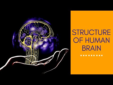 Nervous system    Structure of human brain    Control and ...