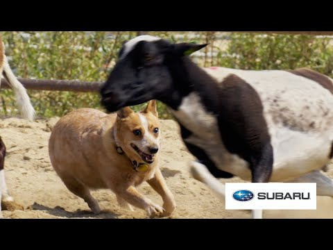 City Dogs Try Herding Sheep For The First Time // Presented By BuzzFeed & Subaru
