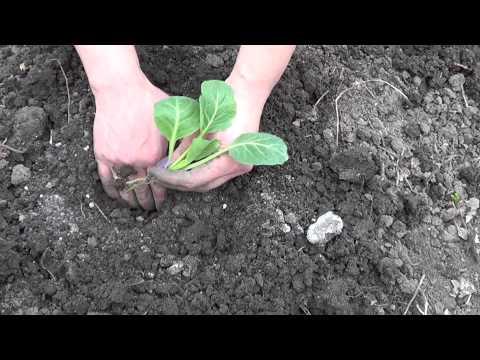 видео: Посадка капусты
