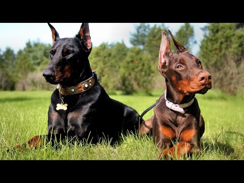 DOBERMAN PINSCHERS  BEST BREED
