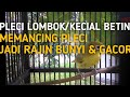 Terapi Pleci Kecial Pleci Lombok Di Jamin Gacor  Mp3 - Mp4 Download