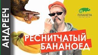 [АНДРЕЕЧ] 5 причин купить Реснитчатого Бананоеда