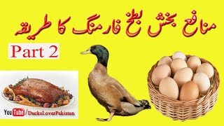 Profitable Duck Farming in Pakistan Part  2