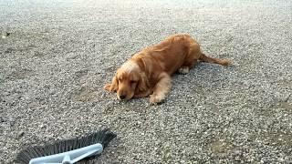 pongo cocker spaniel cucciolo divertente! funny!