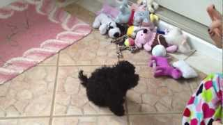 Adorable Teacup Poodle Puppie For Sale Female Undocked Uncropped Tail