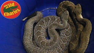MEXICAN RATTLESNAKES!!