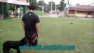 "Edison K9: "" Jager "" Labrador Retriever, Obedience Training."